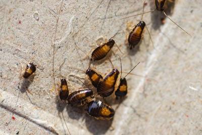 Juvenile German Cockroaches