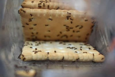 Ants on biscuits
