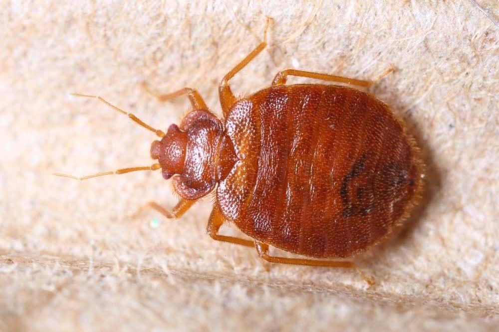 Bed Bugs Signes And Bites Information Advise Pestworks