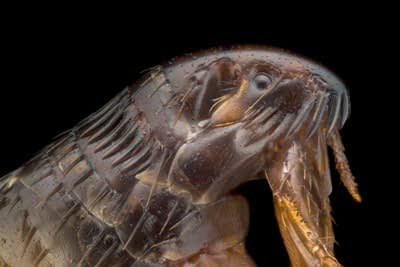 Magnification of a Flea