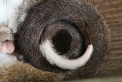 Ring of a Ring Tail Possum